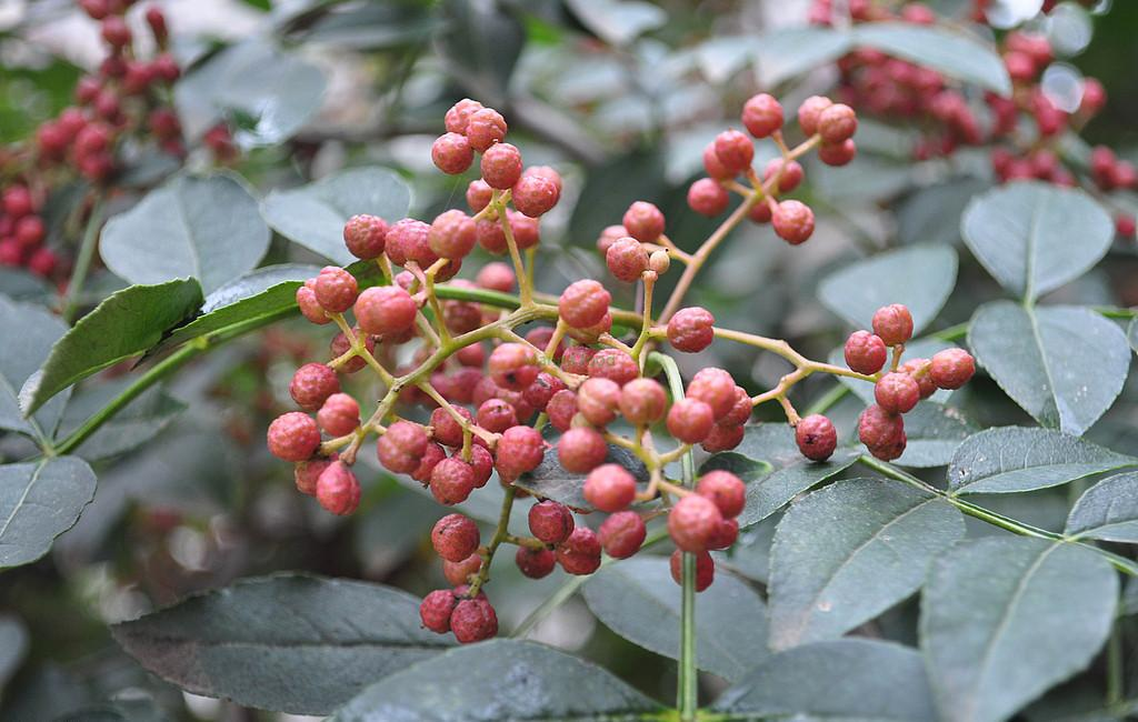 China first ingredients ---- Chinese Prickly Ash