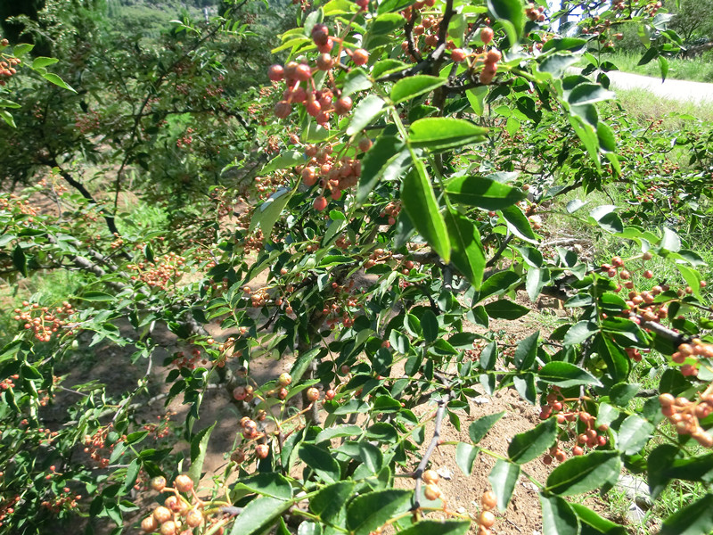 Natural Organic Sichuan Pepper Supply to the World
